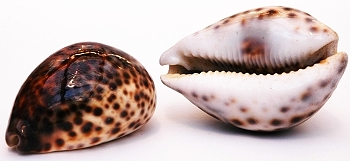 Cowrie Tiger