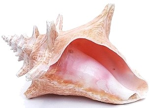 ROLLER CONCH