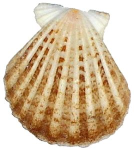 Scallop small