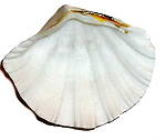 Polished Clam shell