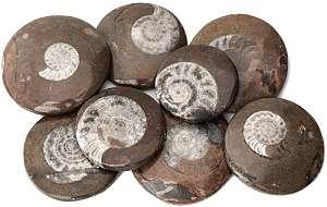Amonites